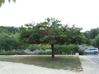 morus kagayamae 39 fruitless 39 arbres d 39 ornement. Black Bedroom Furniture Sets. Home Design Ideas