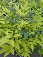 NANDINA domestica MAGICAL® LEMON LIME 'Lemlim'