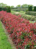 PHOTINIA fraseri 'Red Select'