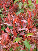 photinia fraseri 39 red select 39 arbustes de haies. Black Bedroom Furniture Sets. Home Design Ideas