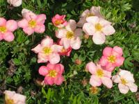 POTENTILLA fruticosa LOVELY PINK® 'Pink Beauty'