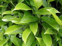 prunus laurocerasus genolia 39 mariblon 39 arbustes de haies. Black Bedroom Furniture Sets. Home Design Ideas