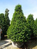 prunus lusitanica 39 angustifolia 39 arbustes de haies. Black Bedroom Furniture Sets. Home Design Ideas