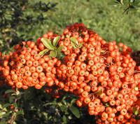 PYRACANTHA SAPHYR ® Orange 'Cadange'