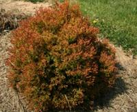 THUJA occidentalis FIRE CHIEF™ 'Congabe'