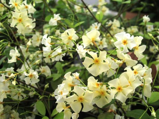 trachelospermum asiaticum 39 christabel bielenberg 39 plantes grimpantes. Black Bedroom Furniture Sets. Home Design Ideas