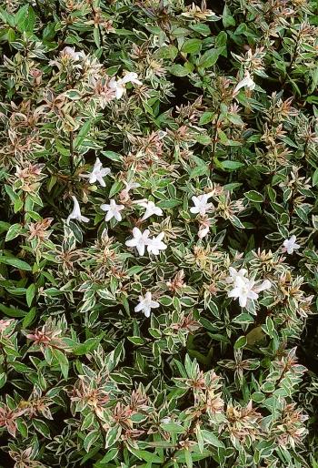 Abelia Grandiflora Confetti Conti