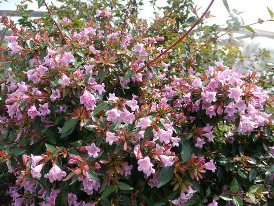 abelia grandiflora 39 edward goucher 39 arbustes persistants. Black Bedroom Furniture Sets. Home Design Ideas
