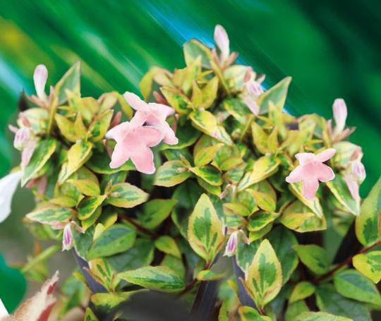 Abelia Grandiflora Sunshine Daydream Abelops Cov