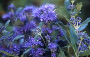 Caryopteris clandonensis 'Grand Blue/Barbe-bleue, Spirée bleue 'Grand  Carclgrabl_3__003784000_1207_01022011