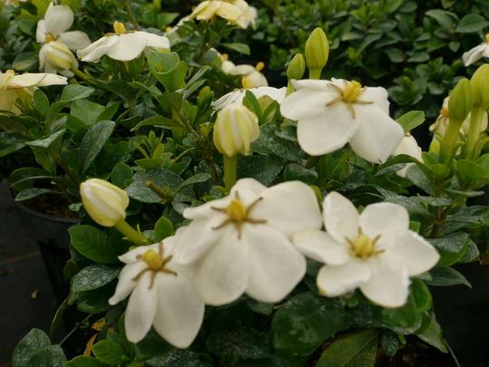 Gardenia Jasminoides Kleim S Hardy