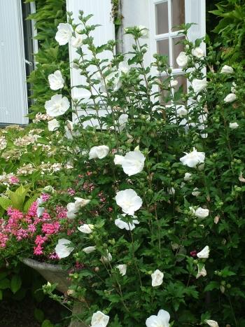 Hibiscus Syriacus White Chiffon Notwoodtwo